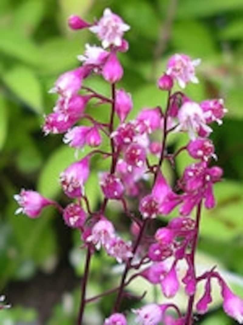 ツボサンゴの花