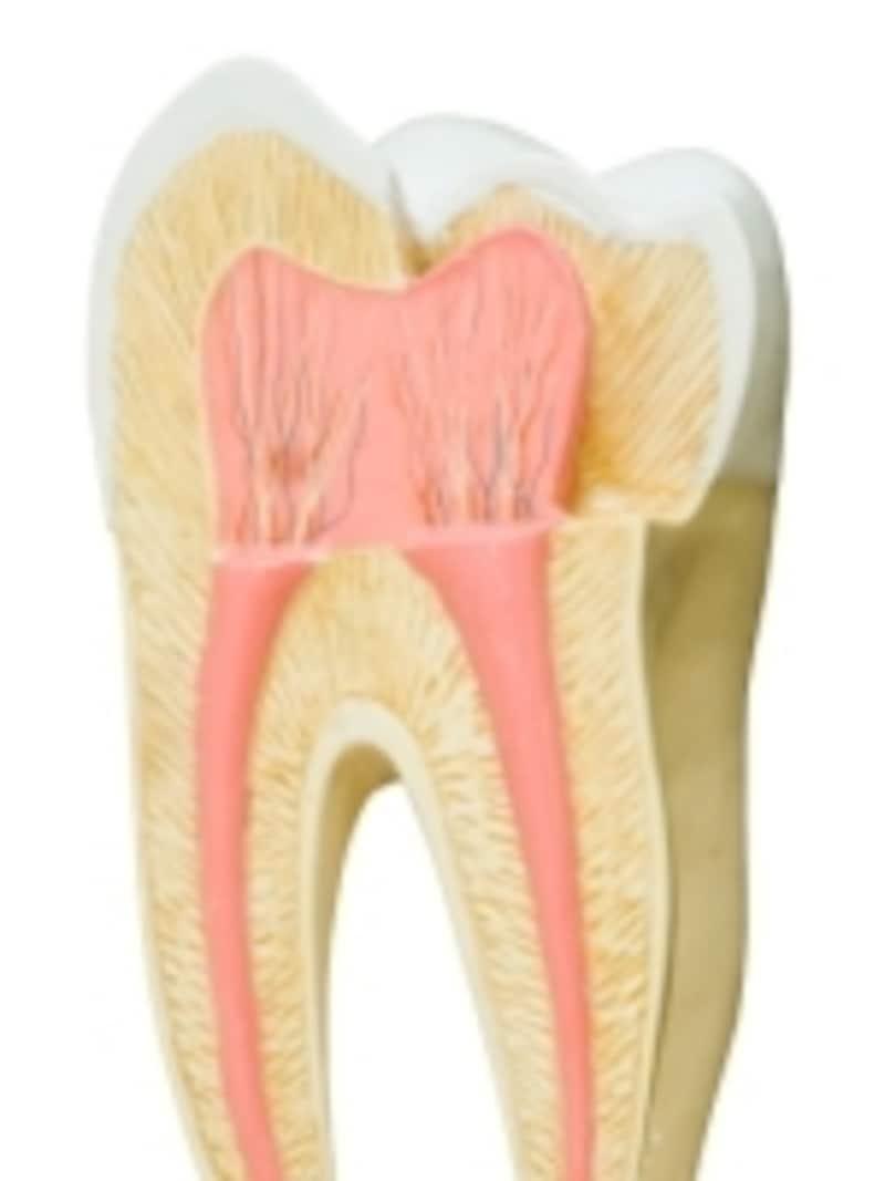 歯の断面構造