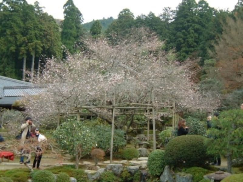 実光院の不断桜(2)