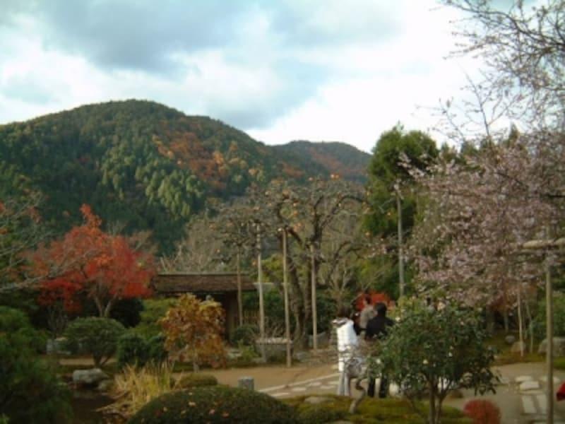 実光院の不断桜(3)