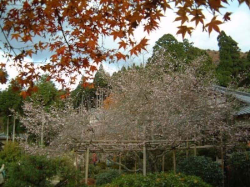 実光院の不断桜と紅葉のコラボレーション