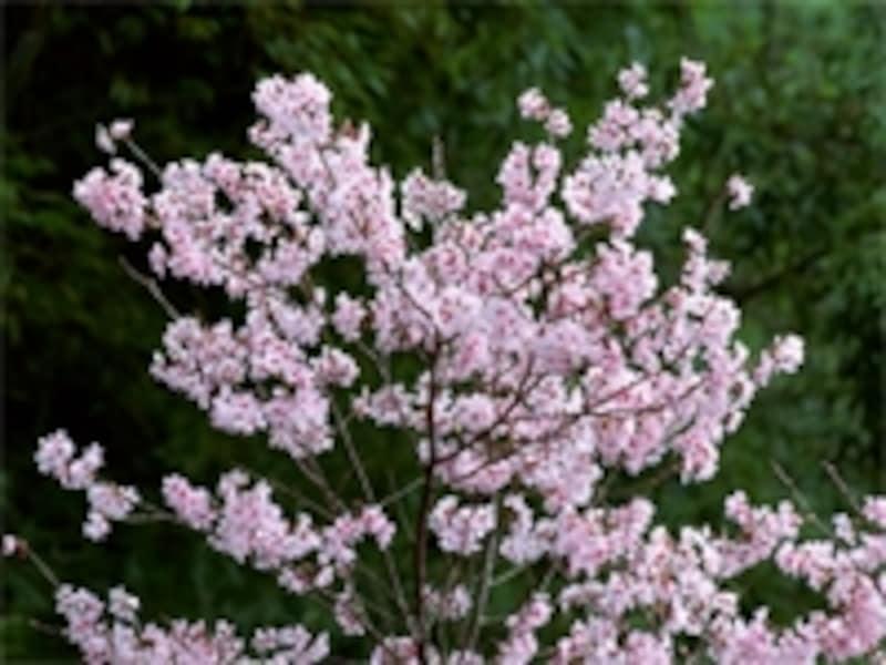 植える木を桜に限定し「桜葬」として樹木葬を行っている霊園もあります