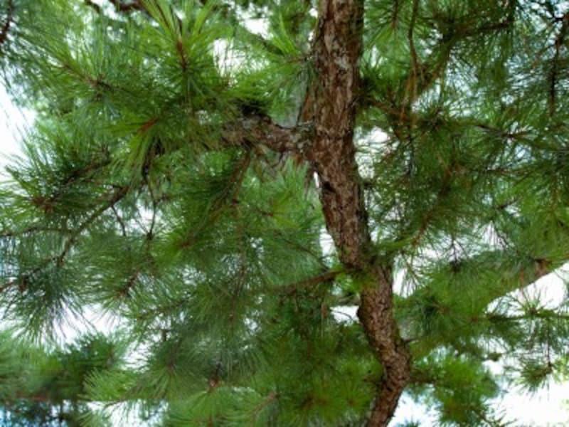 マツは縁起の良い木の代表格