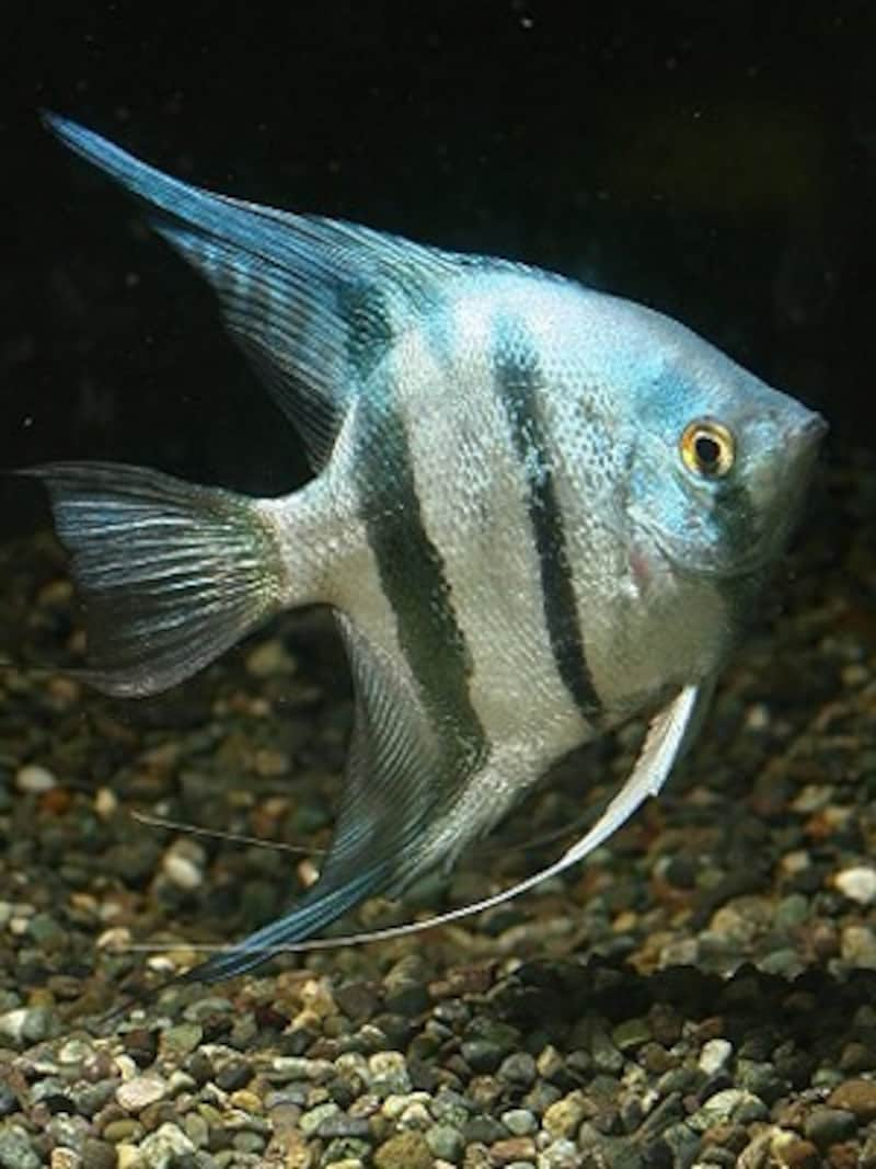 ブルーエンゼル [熱帯魚] All Ab...
