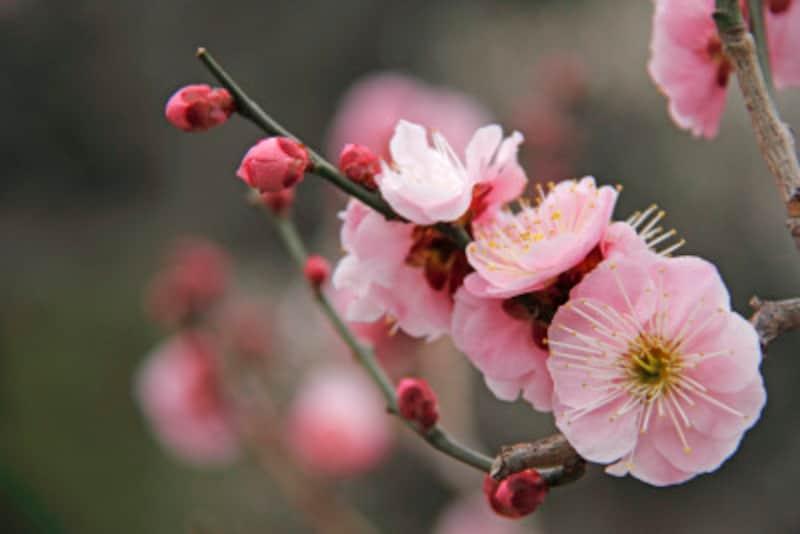 梅の育て方・庭木の植え方