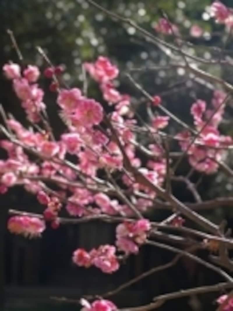 早春の梅2