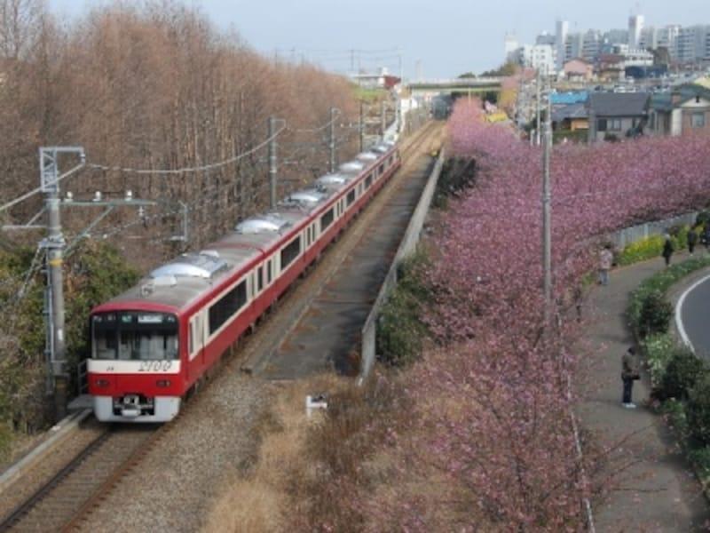 三浦海岸の河津桜並木と電車