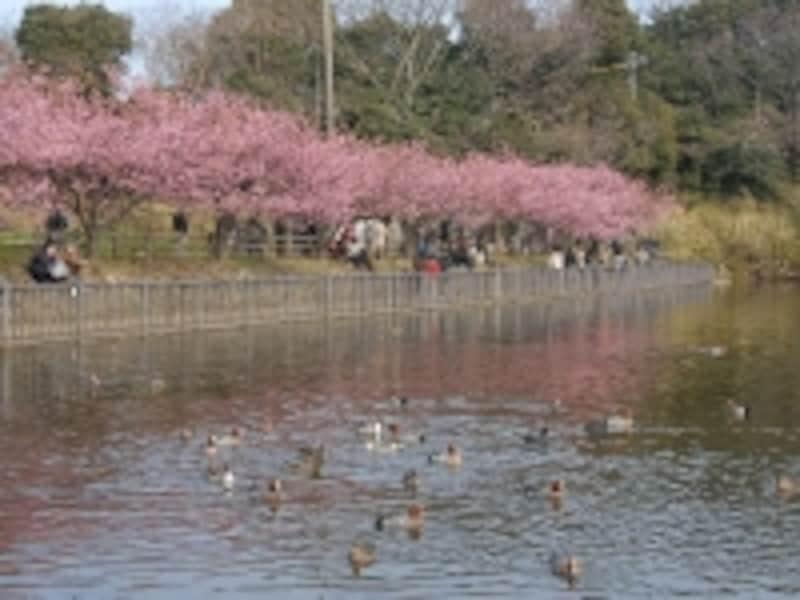 小松ヶ池とカモ