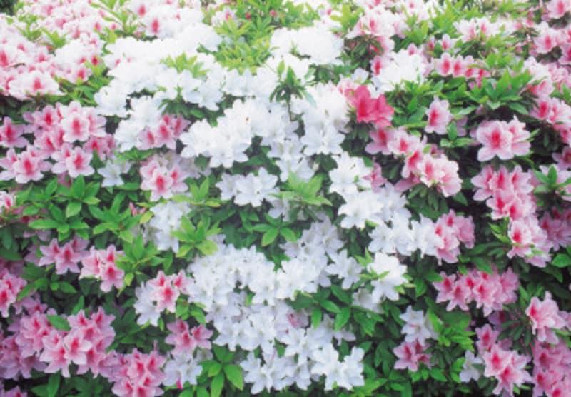 ツツジなど花の咲く木は、花後に刈り込みを