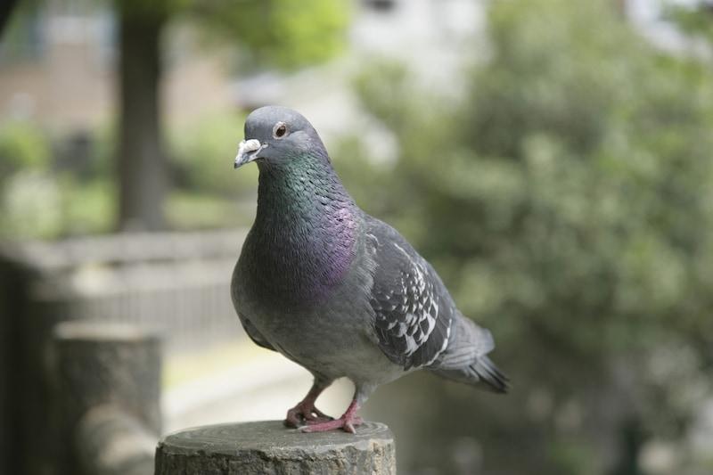 ハトやハトのフンを住まいの周りでよく見かけるようになる時季…特に春は要注意