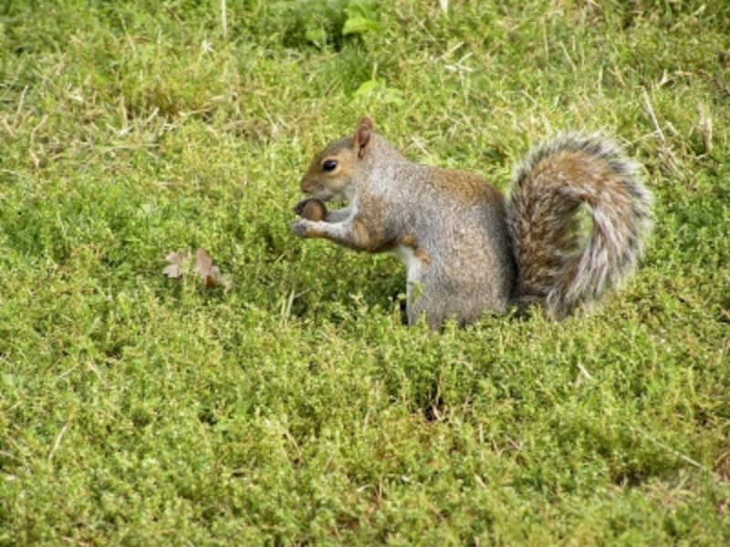 アメリカの公園に多いリス。セントラルパークでもたくさんのリスを見かけます