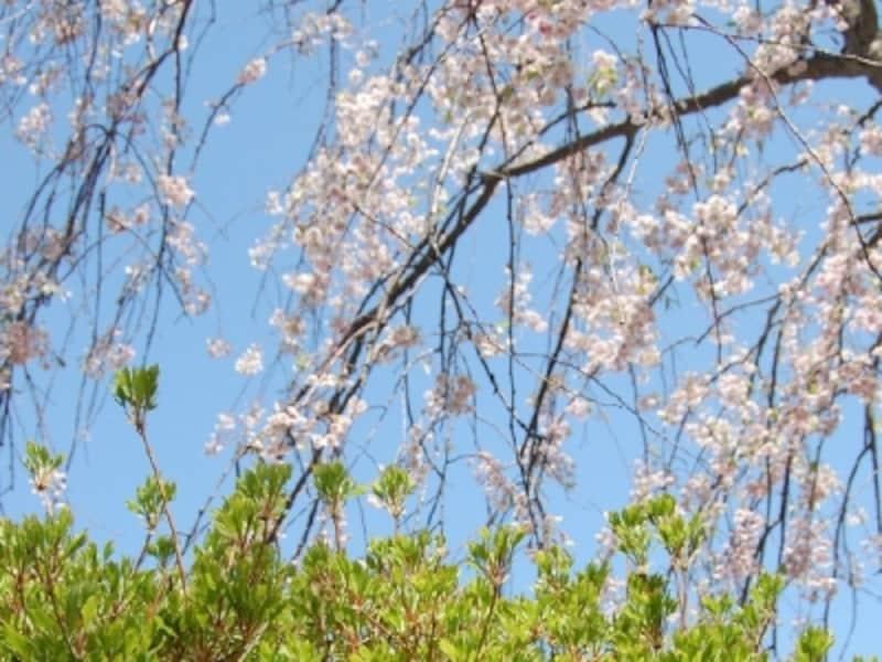 青森の春の花