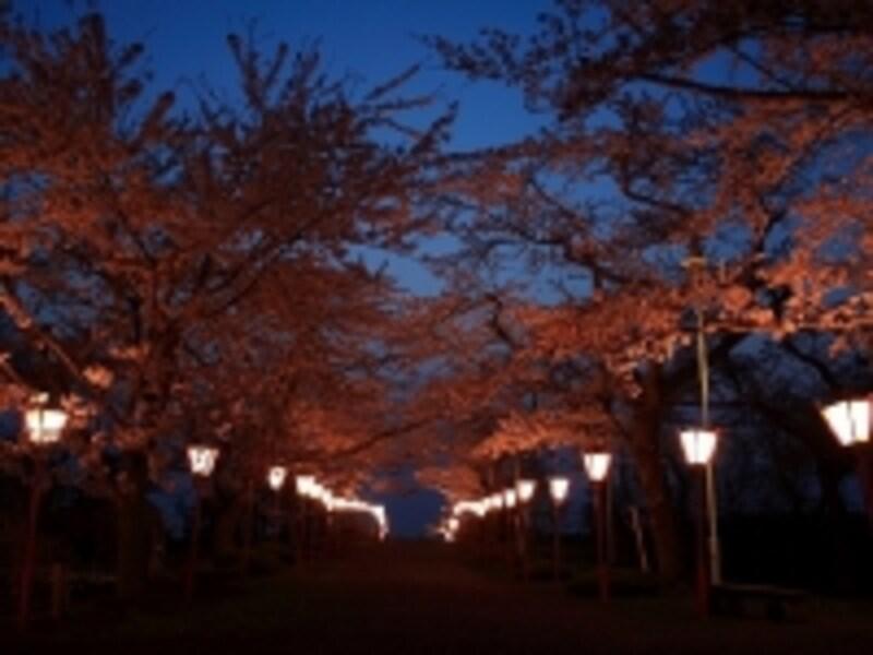 早掛沼公園の桜