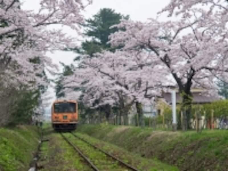 芦野公園駅の桜のトンネル