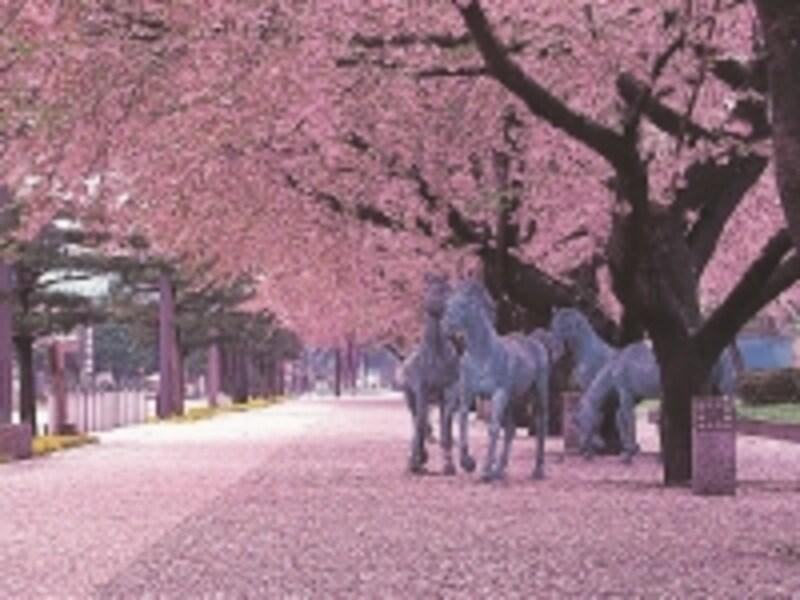 十和田市官庁街駒街道の桜