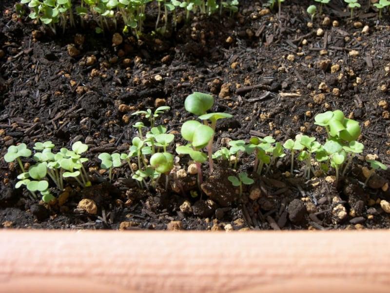 レタス栽培の間引き後
