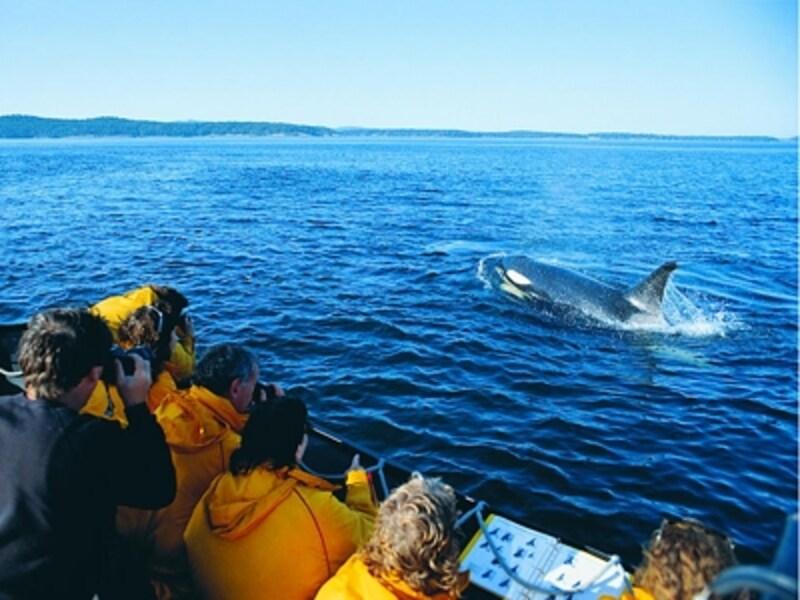 ビクトリア近海では高確率でシャチを見ることが可能(C)VancouverWhaleWatch
