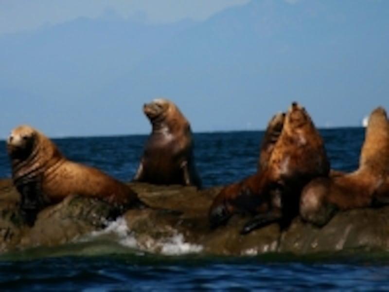 アシカやアザラシもホエールウォッチングツアーで見られる動物の定番(C)VancouverWhaleWatch