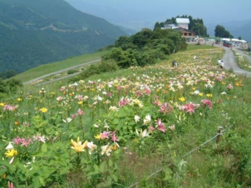湯沢高原アルプの里のゆり園(1)
