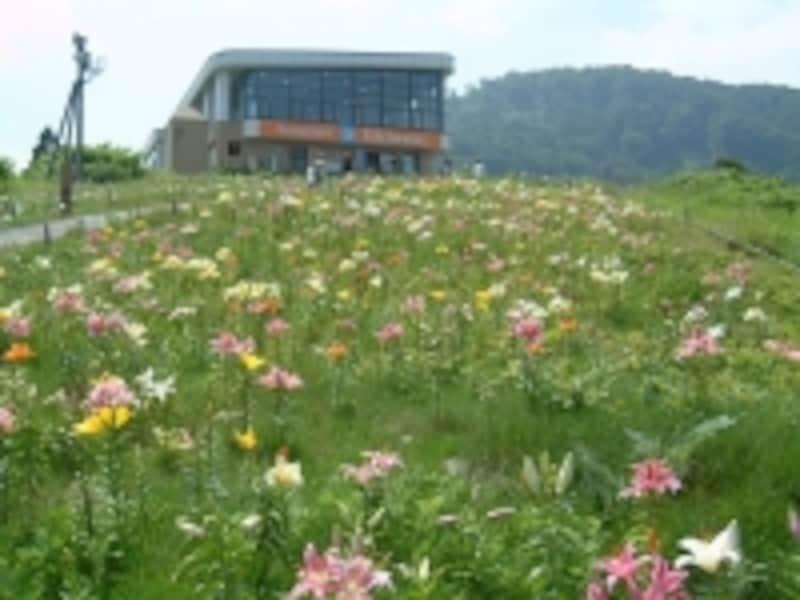 湯沢高原アルプの里のゆり園(2)