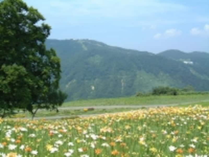 湯沢高原アルプの里のゆり園(3)