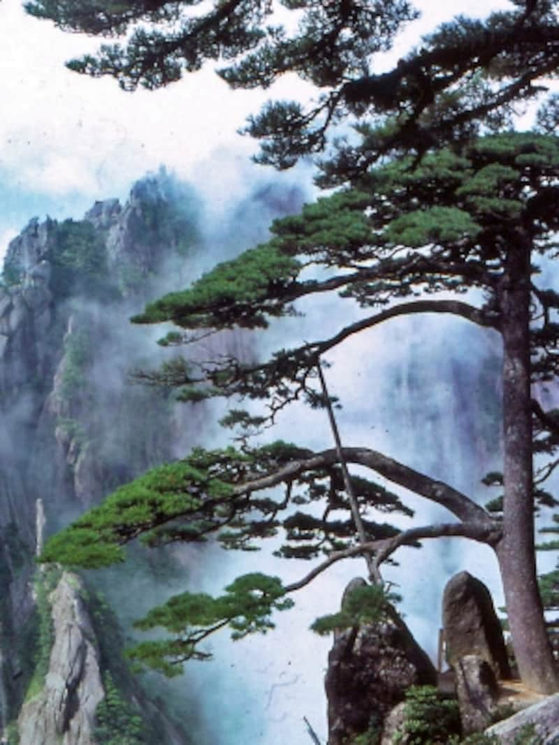 黄山の固有種、黄山松