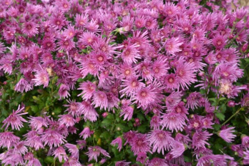 秋に咲く花の種類は?9~11月の秋から晩秋の花、多年草、球根植物
