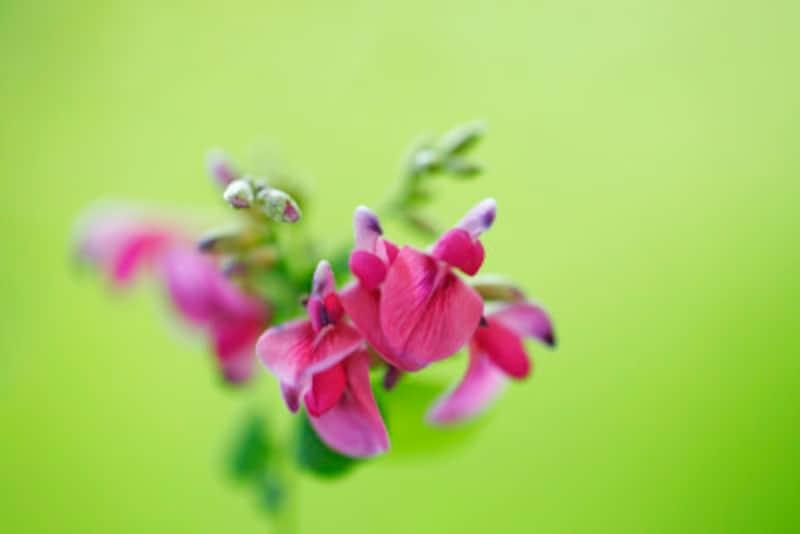 秋に咲くハギの花