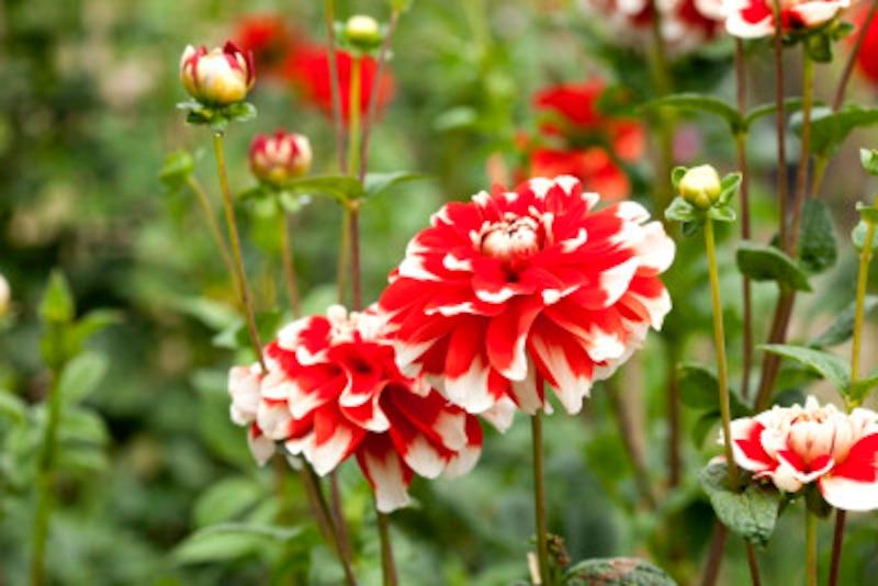 秋に咲くダリアの花