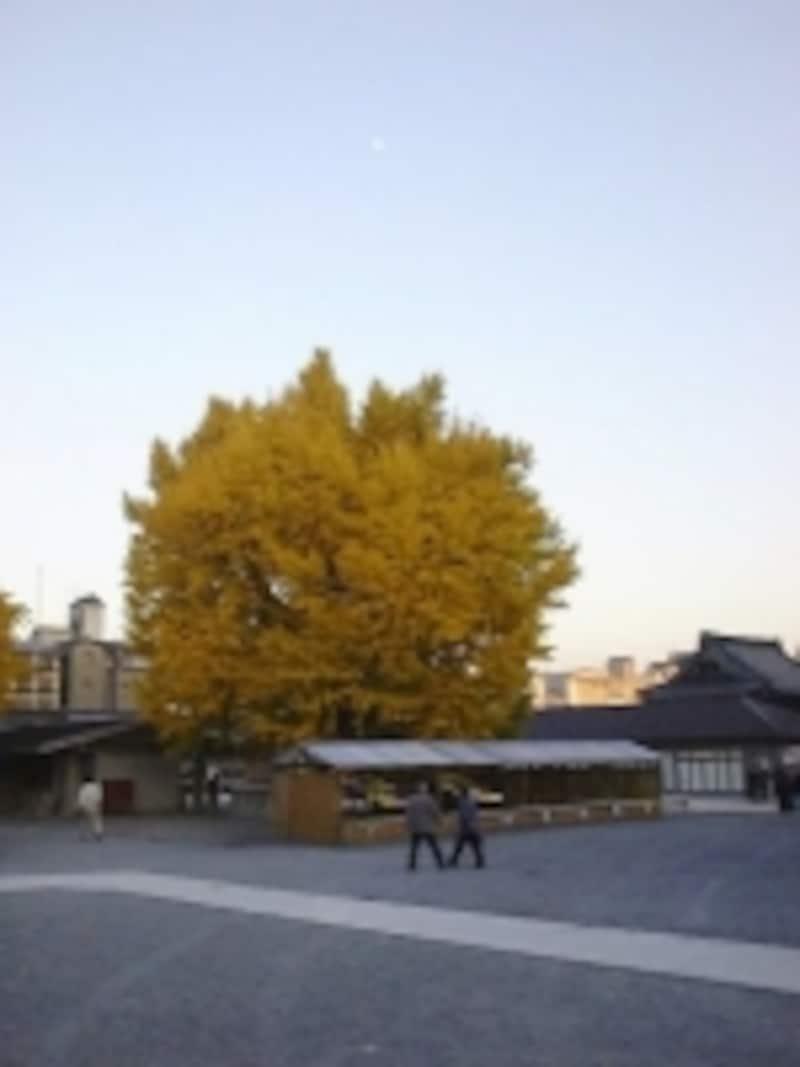 西本願寺の大銀杏