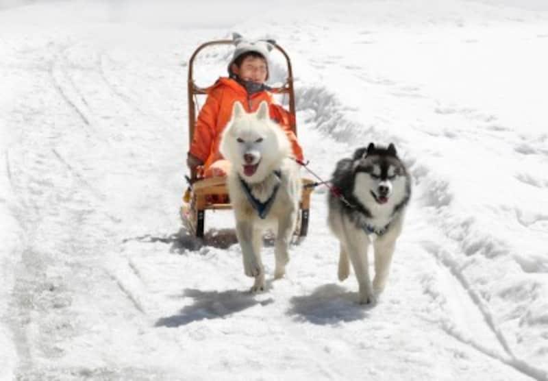 ポタスノーランドでは犬ぞり体験も!