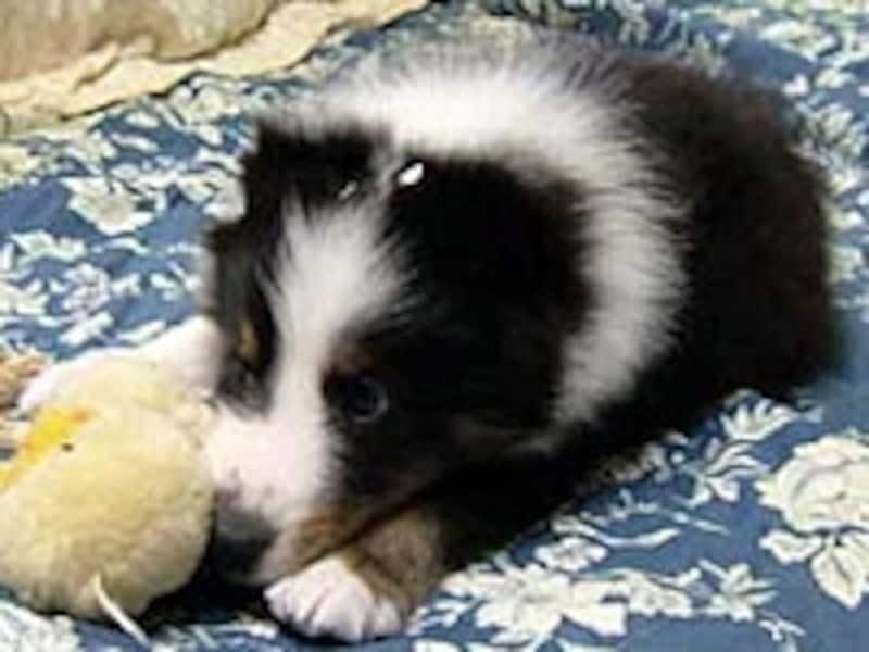 シェルティーの子犬