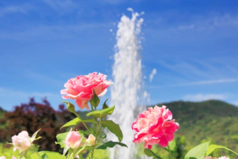 四季咲き性バラの剪定を解説