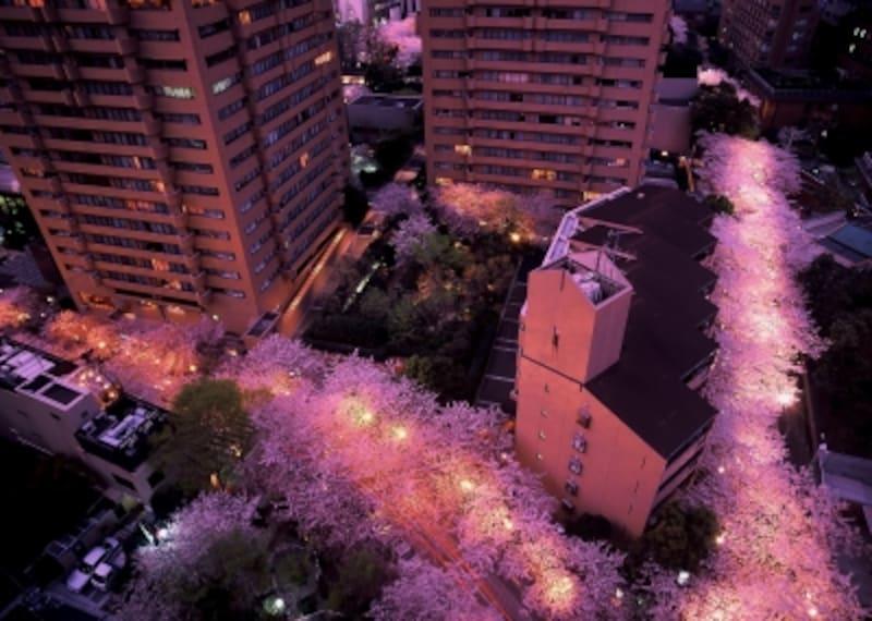 アークヒルズの桜並木