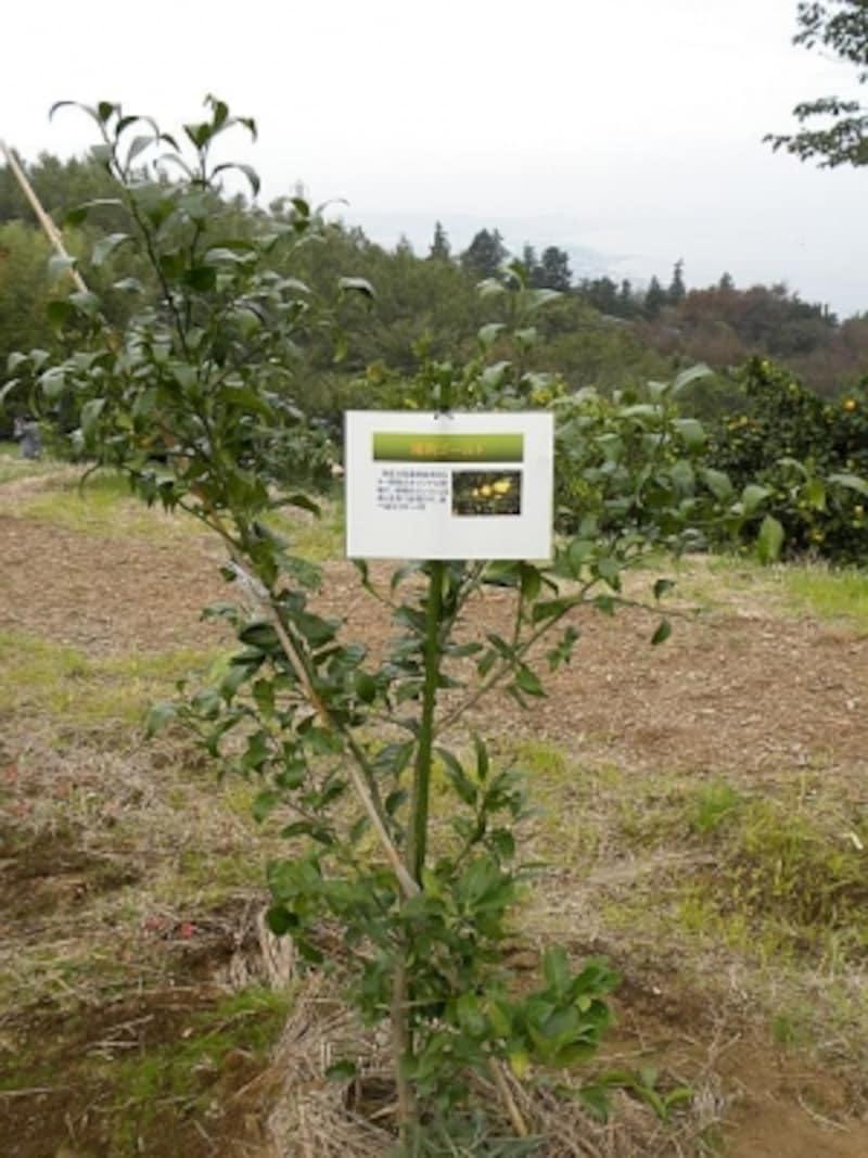 畑に植えられた「湘南ゴールド」の木も、順調に成長
