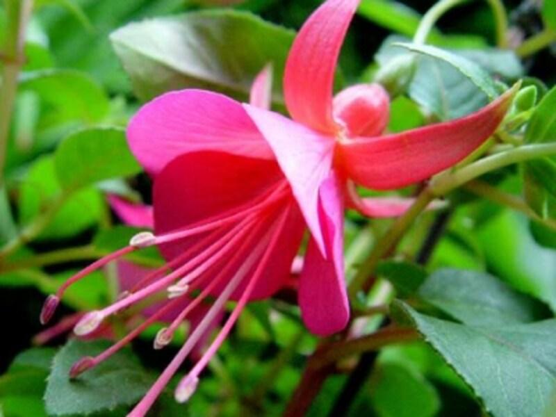 「フクシア」は、垂れ下がって咲いているので、鉢植えをつるして鑑賞することも多いです。可愛くて愛らしい花ですよね!