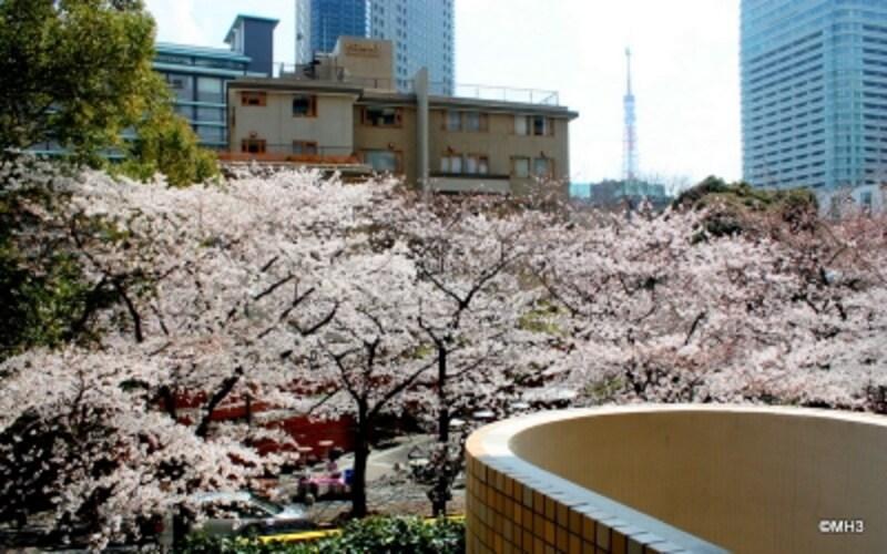 バルコニーから桜並木と東京タワーを望む