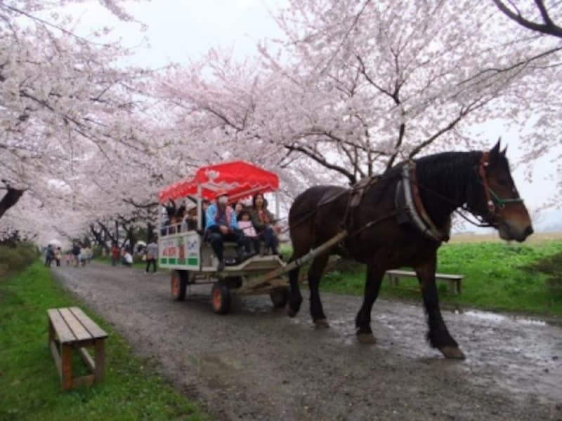 北上展勝地の桜並木を行く観光馬車(1)