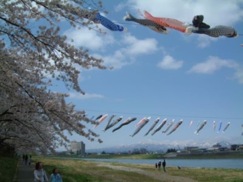 北上川の上を元気に泳ぐ鯉のぼりと北上展勝地の桜