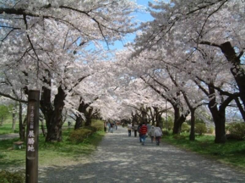 北上展勝地の桜並木(1)