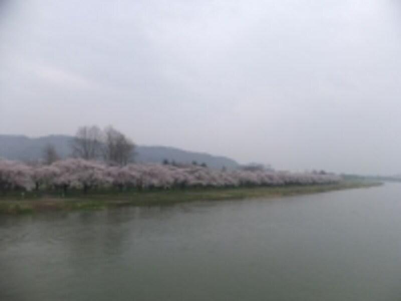 北上川の川岸に沿って伸びる北上展勝地の桜並木/珊瑚橋より(2011年5月1日撮影)