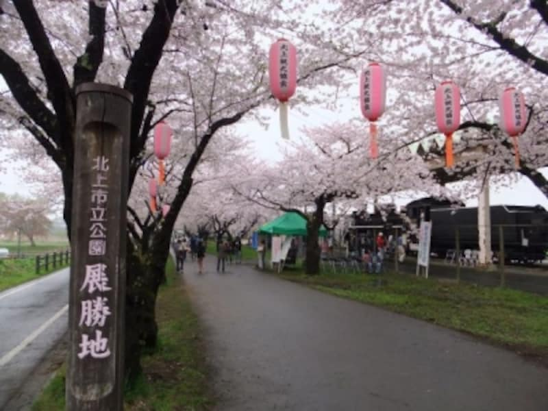 北上展勝地の桜並木(3)/蒸気機関車と共に