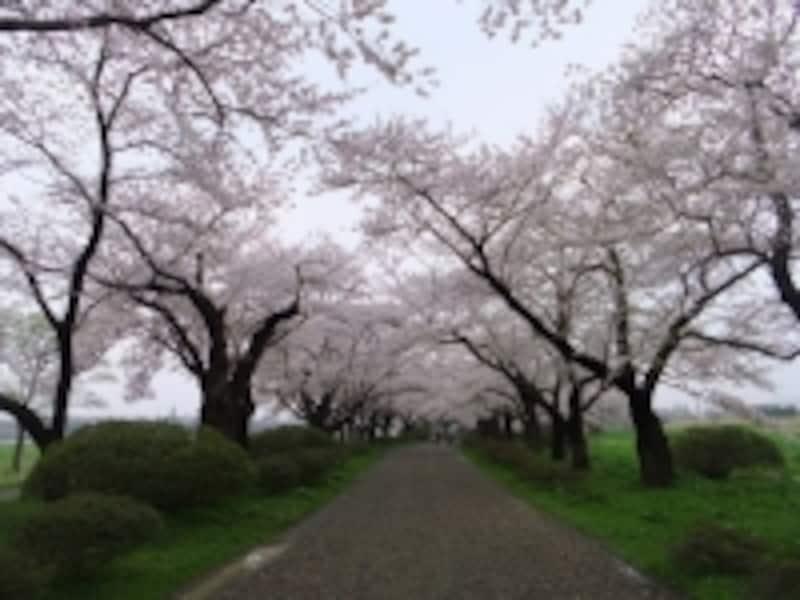 北上展勝地の桜並木(4)