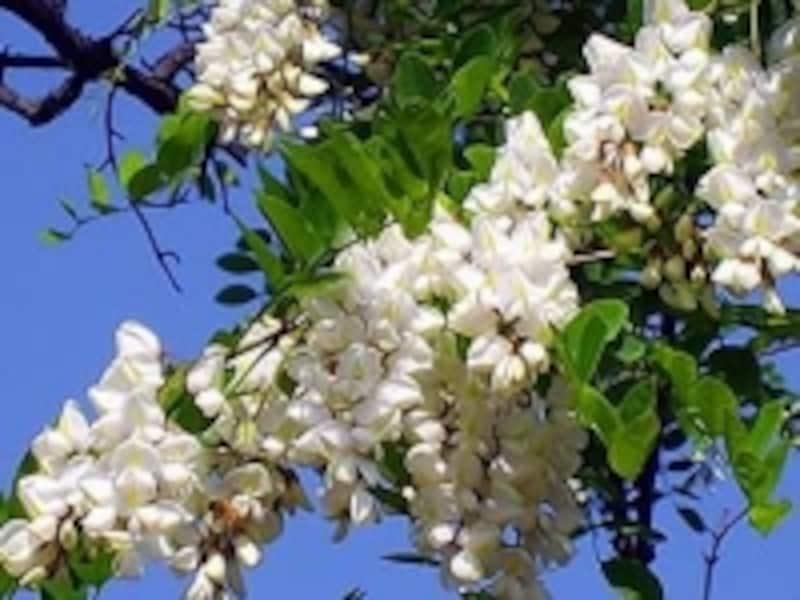 大連・アカシアの花