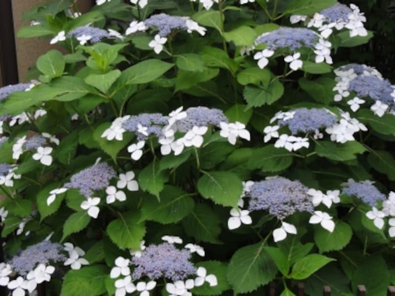 鉢植えやちょっとした花壇を家の前につくり、アジサイが植えられている