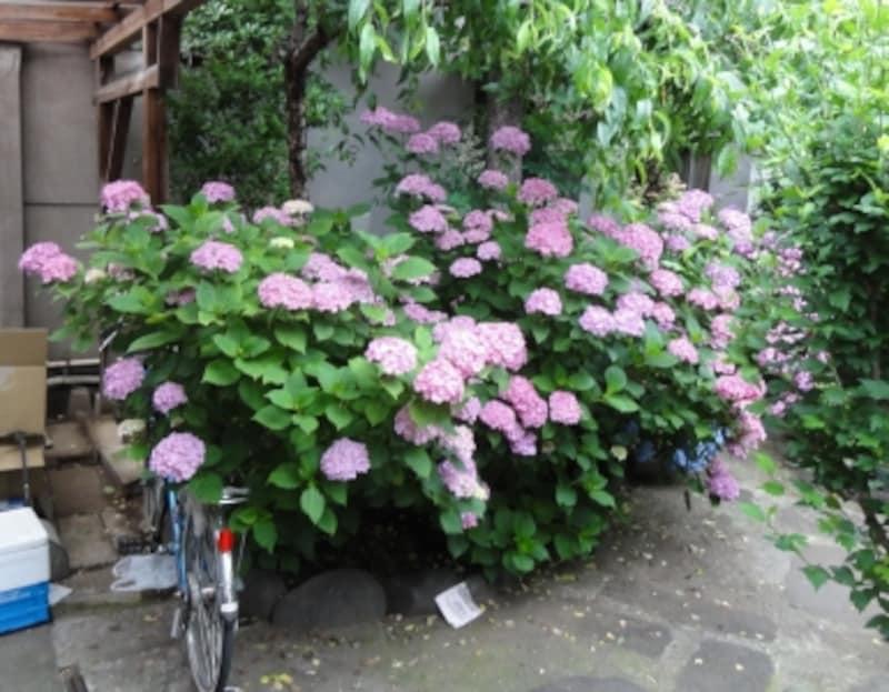 庭いっぱいに咲くアジサイ