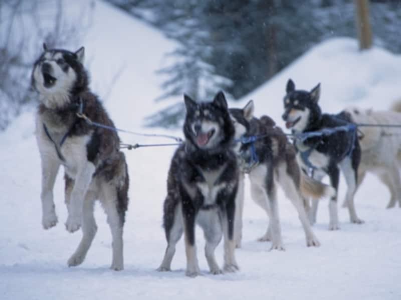 犬ぞりと言えば、写真のようなハスキー犬を想像させますが、実際にはハスキーではないことも(C)TravelAlberta