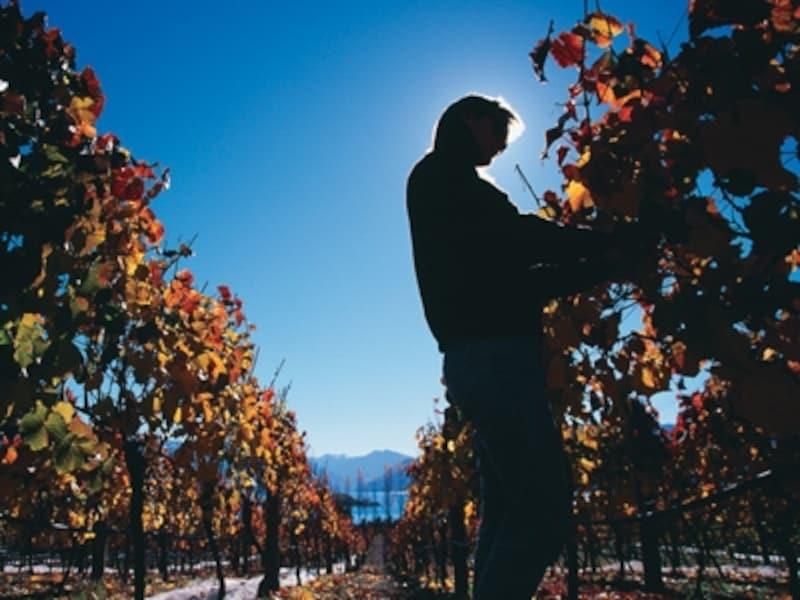 昔ながらの製法で丁寧に造られているニュージーランドワイン
