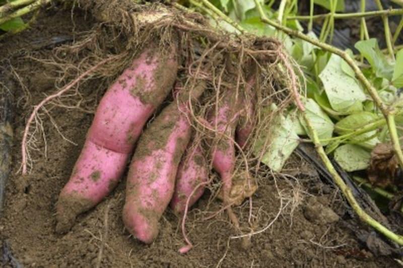 サツマイモの栽培方法!失敗しない育て方と収穫時期のすすめ