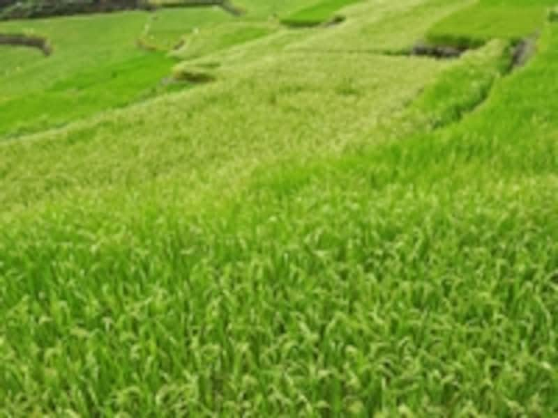 棚田の曲線と青々とした稲